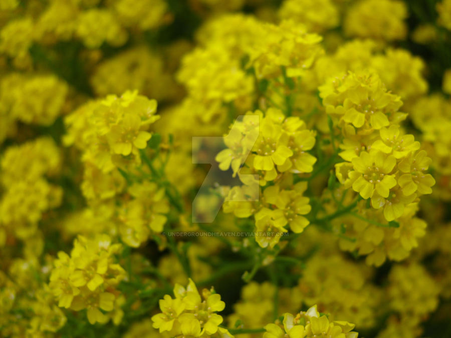 Small yellow flowers by undergroundheaven on deviantart small yellow flowers by undergroundheaven mightylinksfo