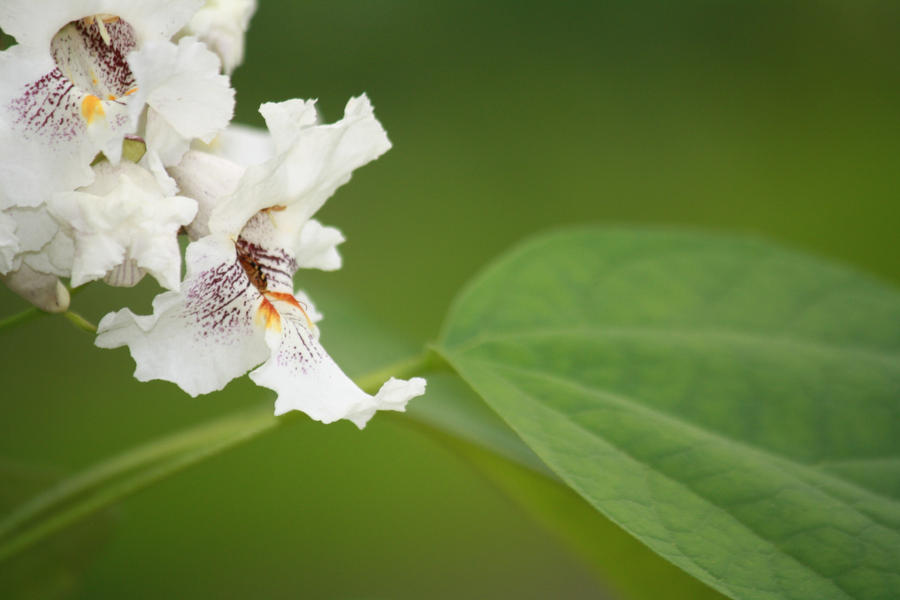 CATALPA FLOWERS by zraclooc