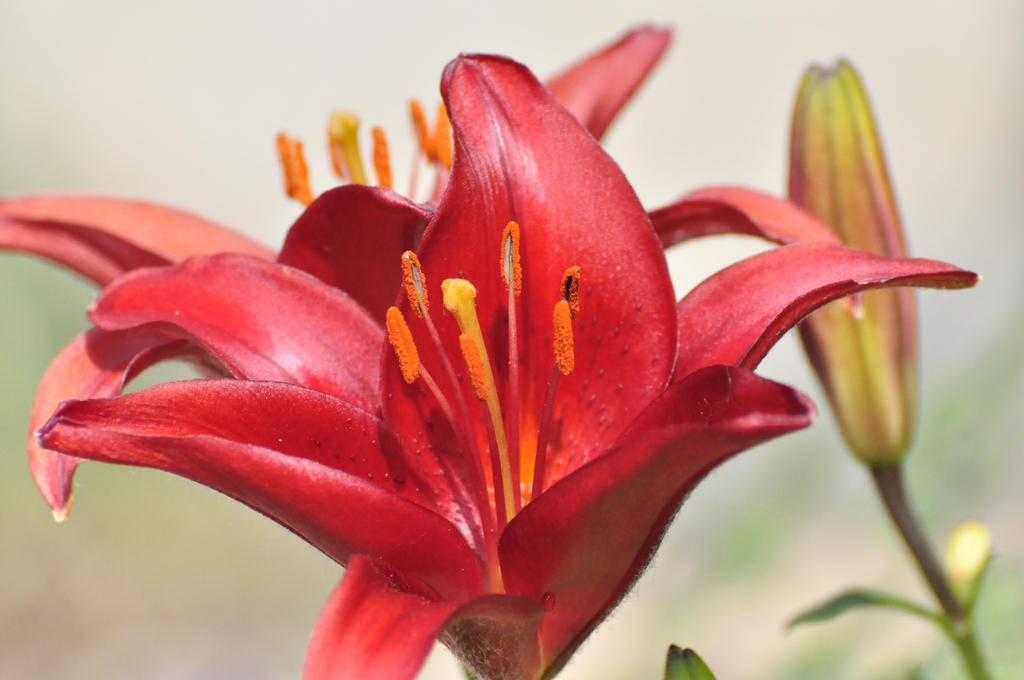 My Red Lily by osctar