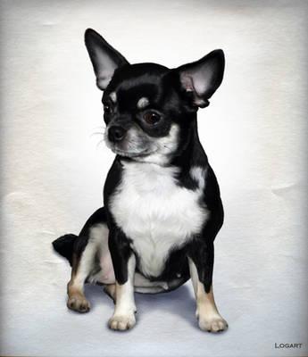 Portrait chihuahua.