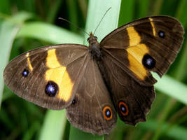 Varied Sword Grass Brown by SirTimid