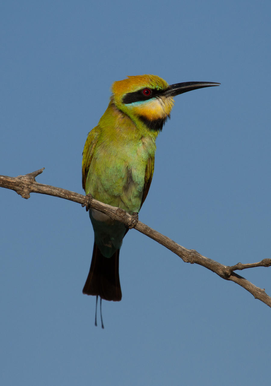 Rainbow Bee-eater by SirTimid