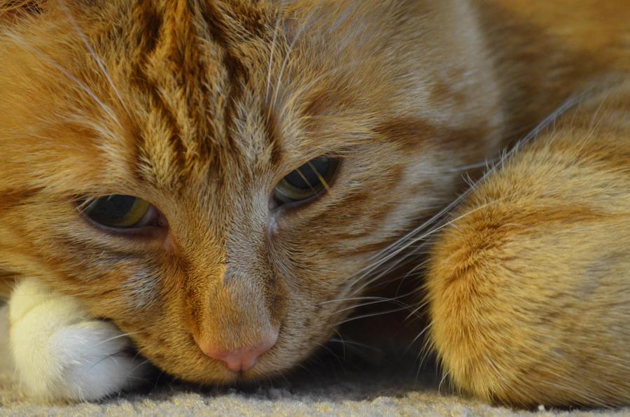 Orange Cat by PoultryChamp