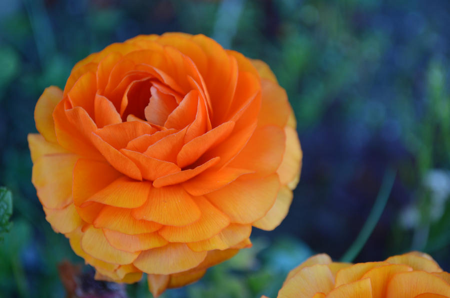 Orange Ranunculus by PoultryChamp