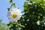 White Flower In The Sun