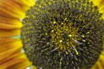 Saffron Sunflower