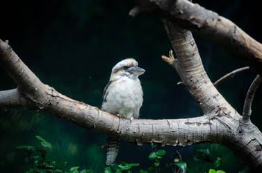 Kookaburra I