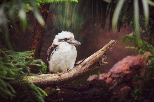 Kookaburra II