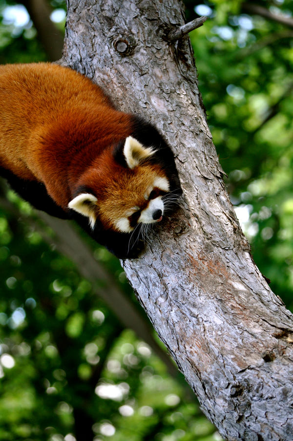 Marlow the Red Panda by DempseyC