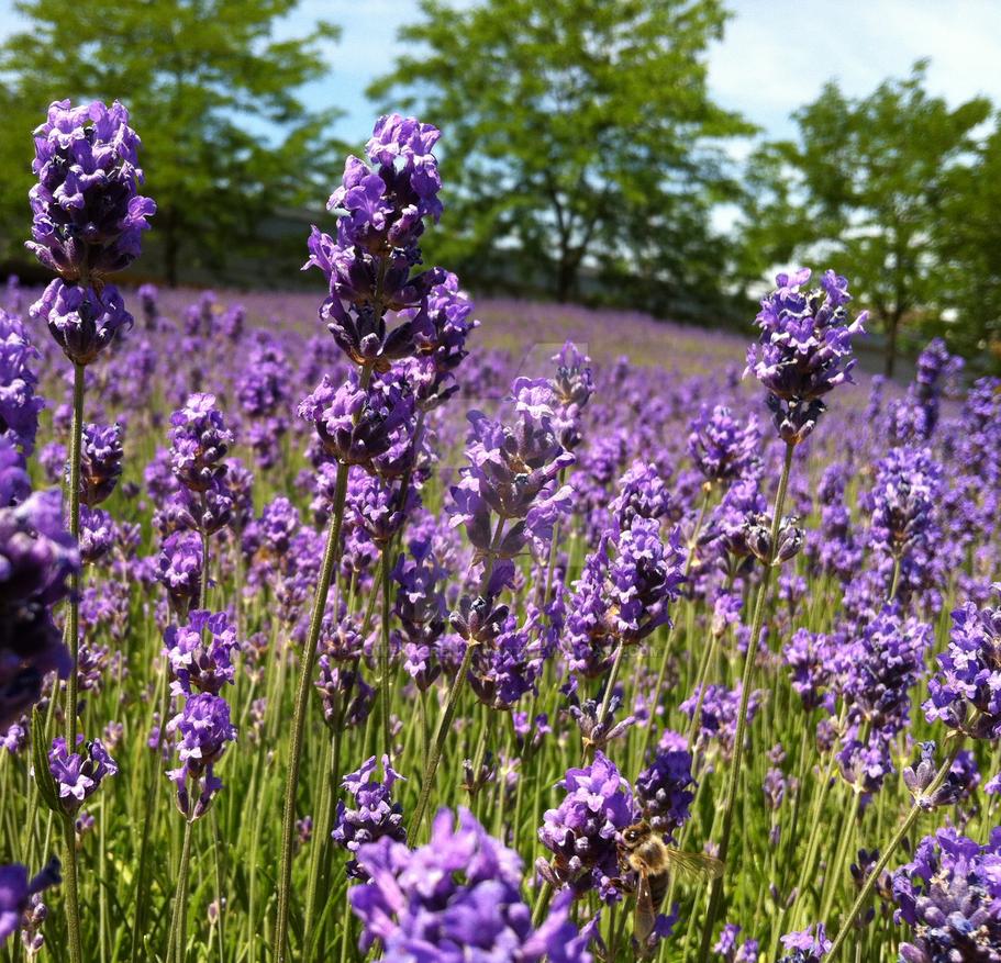 Lavender fields by rowenabrennavart