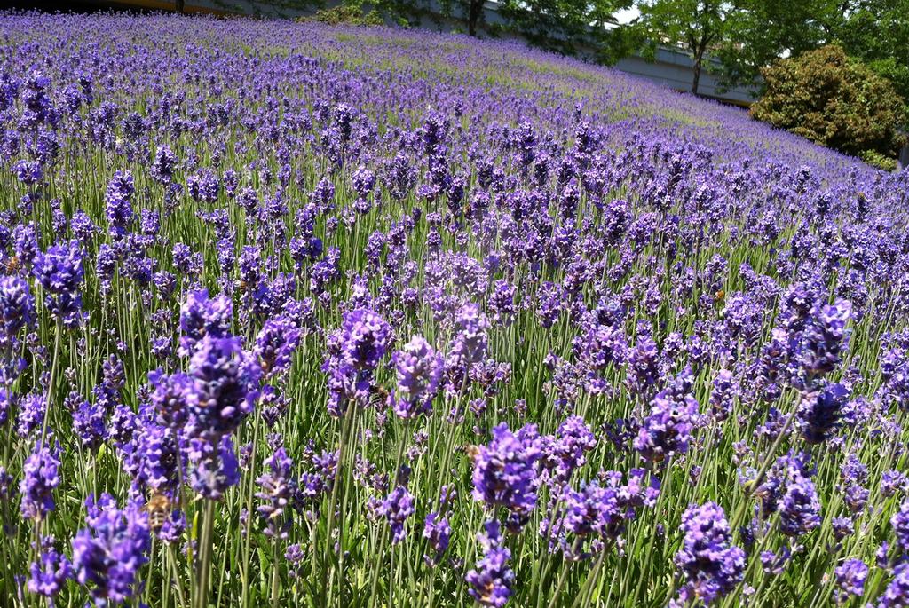 Lavender fields II by rowenabrennavart