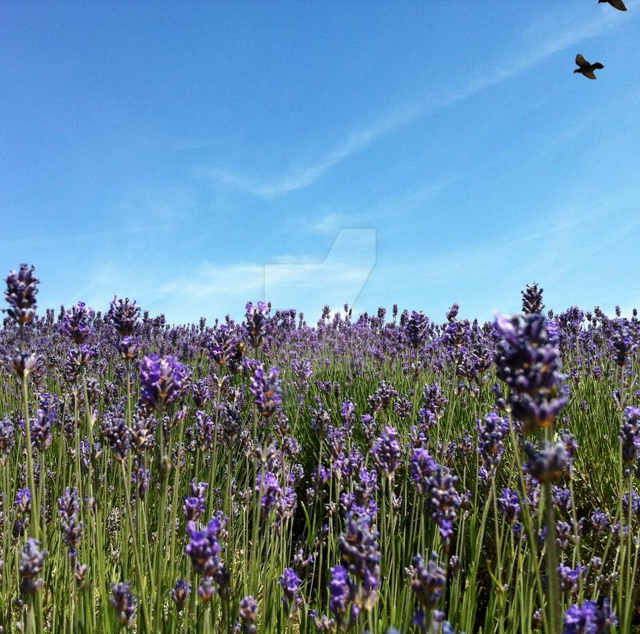 Lavender fields III by rowenabrennavart