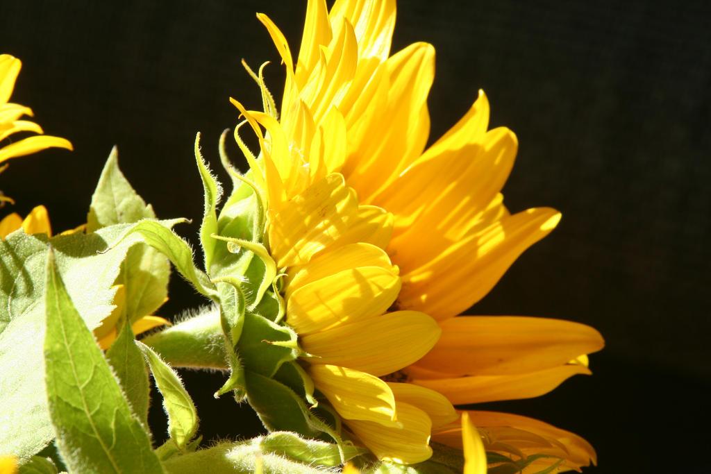 Sunflower IV by rowenabrennavart