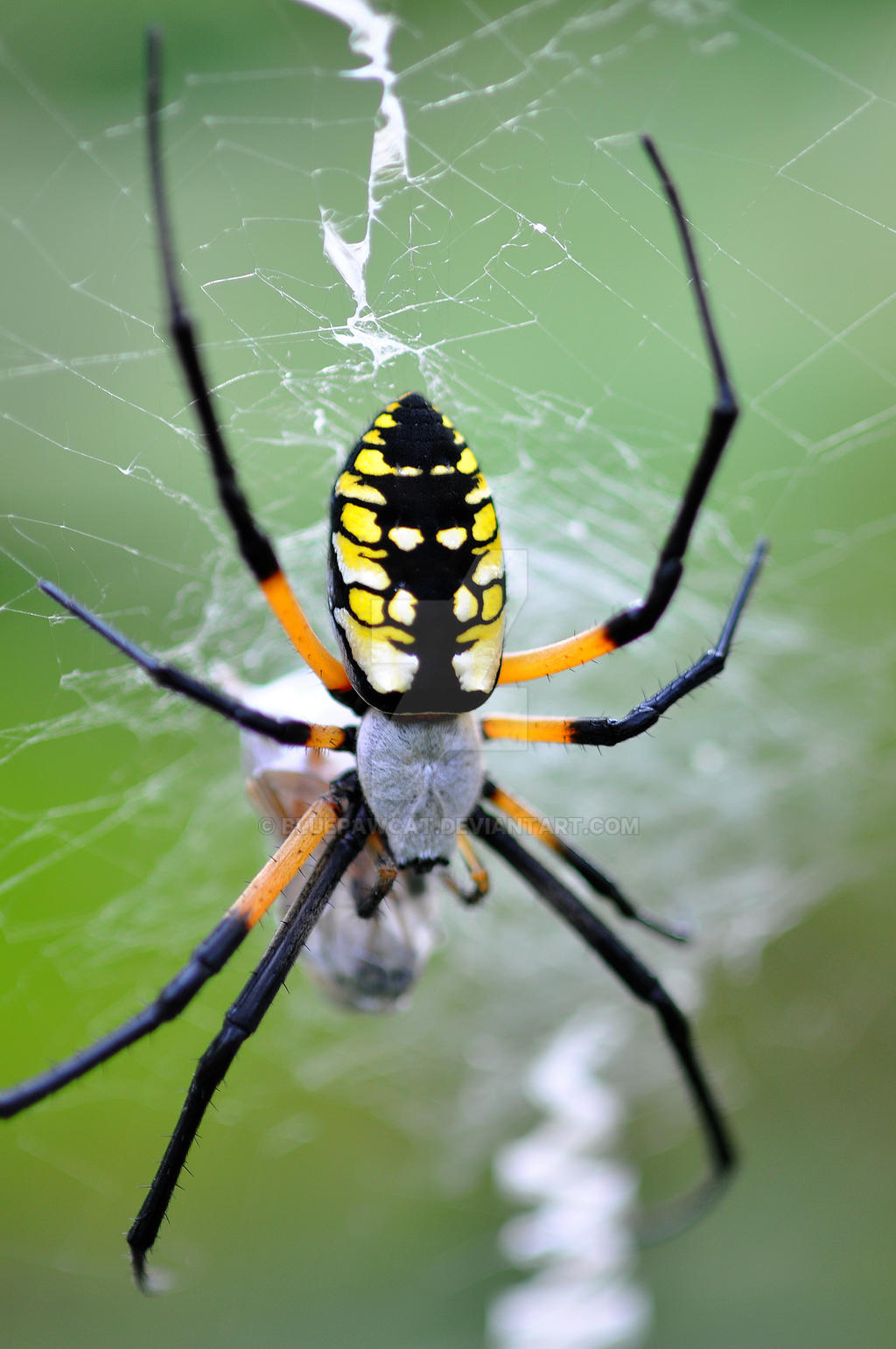 writing spider Spider mythsby rod crawfordeverything that 'everybody knows' about spiders is wrong spider myths: everything you thought you knew about spiders is wrong.