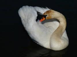 Swan by krychu84