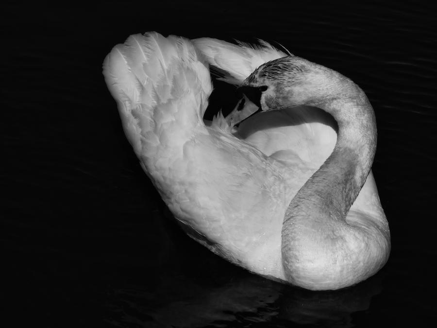 Swan Black and White by krychu84