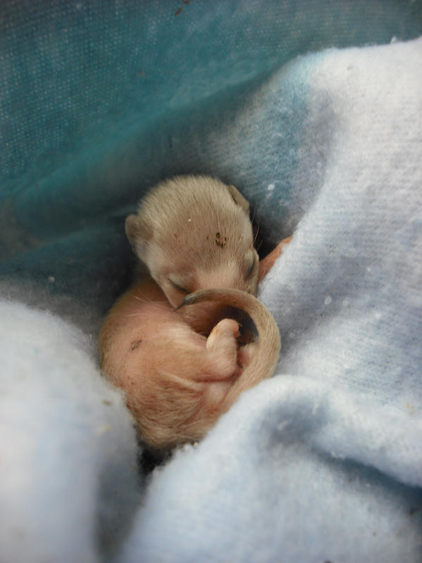 Baby weasel by animal--lover