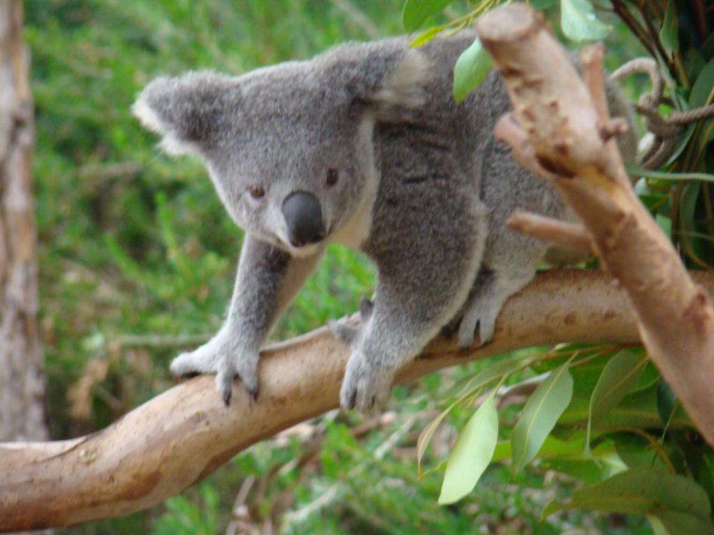 Koala 2 by Animal--Lov...