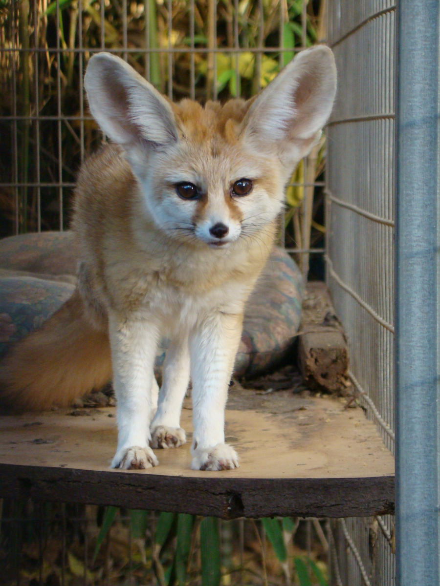 Fennec Fox Mako 1 By Animal Lover On Deviantart