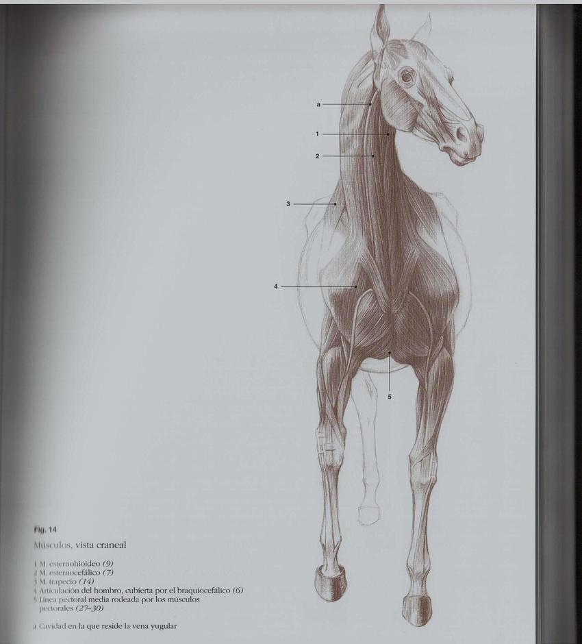 Moderno Imágenes Anatomía Del Caballo Cresta - Anatomía de Las ...