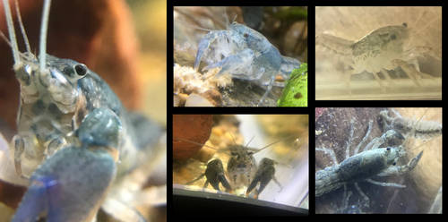 pet crayfish collage