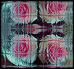 _Northern_Roses