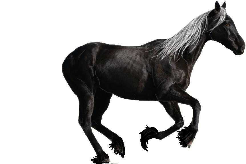 صور احصنه بدون خلفيه png سكرابز حصان png صور احصنه black_horse_precut_by_looserfaceman-d5sa84t.png