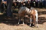 Chincoteague Pony 82