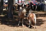 Chincoteague Pony 83