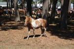 Chincoteague Pony 84