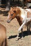Chincoteague Pony 85