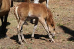 Chincoteague Pony 86