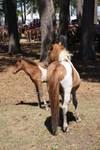 Chincoteague Pony 87