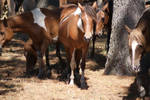 Chincoteague Pony 89