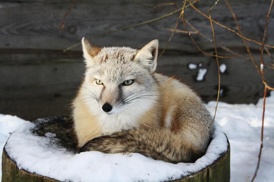 white fox ? by MPAK on DeviantArt
