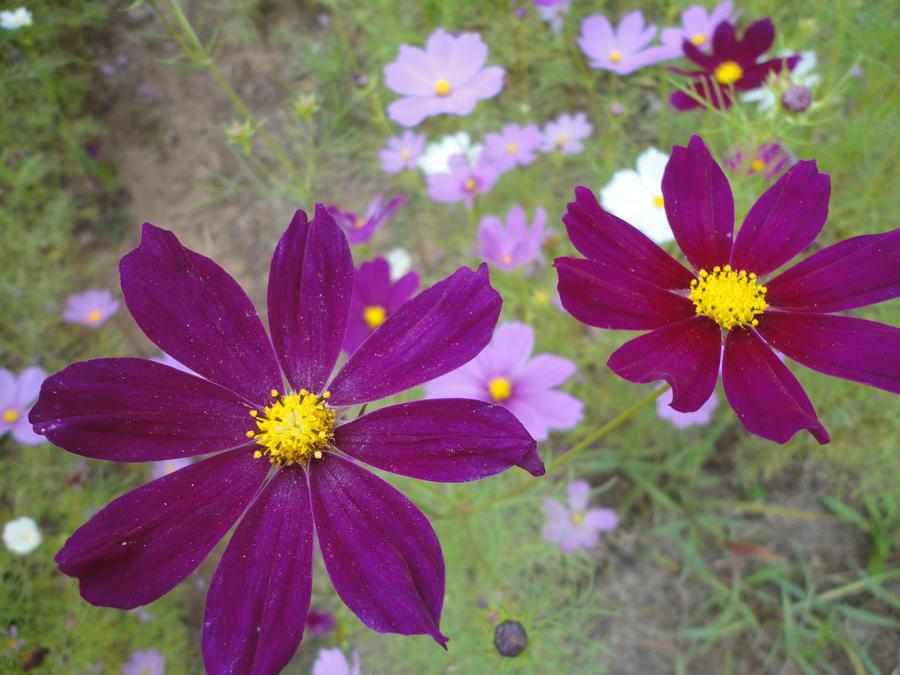 Pink Pinwheels by sapphirepyroshimmer