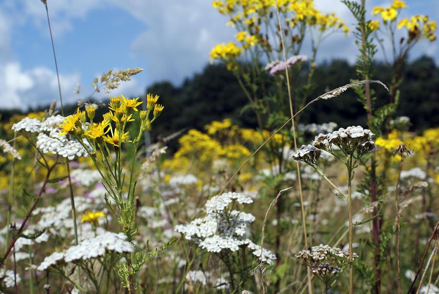 wild weedland with jacob's senecio by pavalo