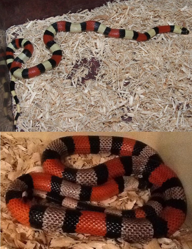 Pueblan Milksnake Juvenile to Adult by hankinstein