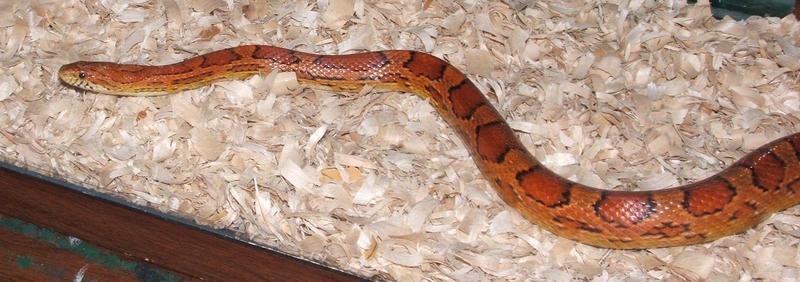 A Snake Named Sam by hankinstein
