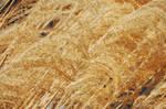 Texture-Wheat5