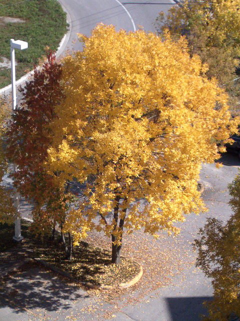 Big yellow tree by Ripplin
