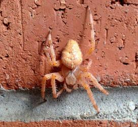 Fat orangey spider by Ripplin