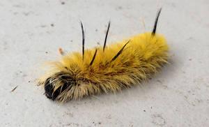 Punk caterpillar