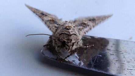 Moth on the edge of a dagger