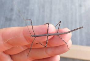 Stick bug on my hand