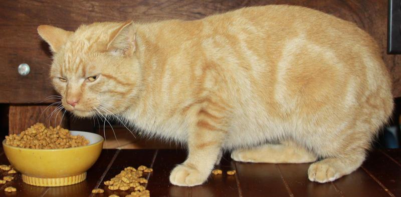 Orange Cat Stock 19 of 30 ~ Nomad by Lovely-DreamCatcher