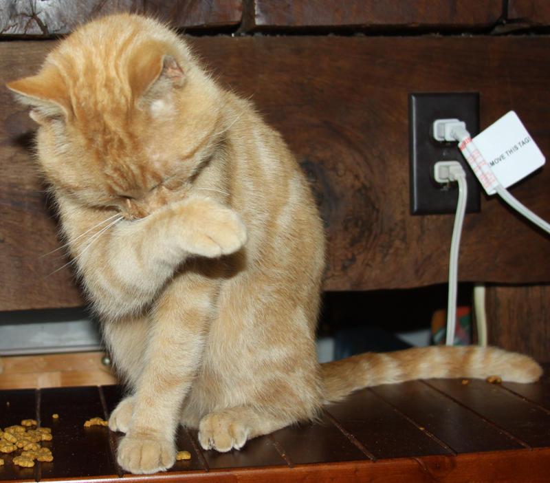 Orange Cat Stock 3  of 30 ~ Nomad by Lovely-DreamCatcher