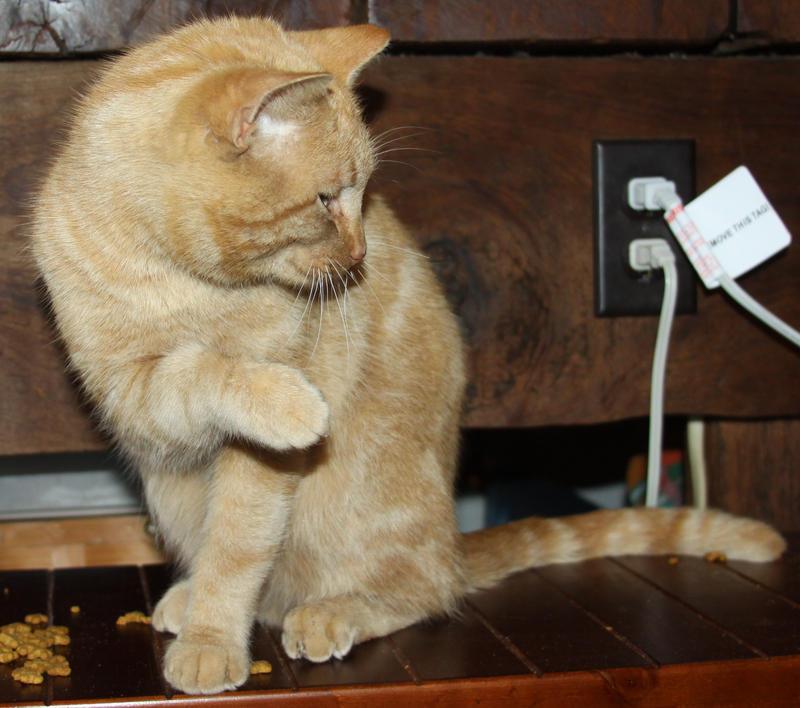 Orange Cat Stock 1  of 30 ~ Nomad by Lovely-DreamCatcher