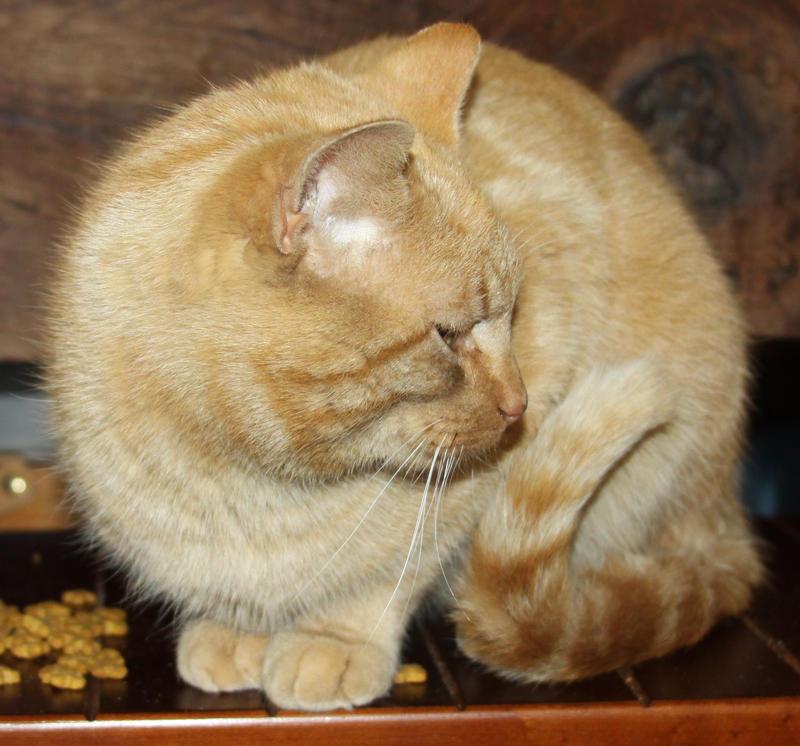 Orange Cat Stock 14 of 30 ~ Nomad by Lovely-DreamCatcher
