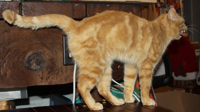 Orange Cat Stock 22 of 30 ~ Nomad by Lovely-DreamCatcher